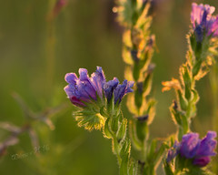 Wildflowers, covered in dewdrops at sunrise - Summer 2016 (Wilma v H - thanks so much for lovely feedback! Ru) Tags: wildflowers purpleflowers sunrise macro closeup backlit flowers plants dawn canoneos60d dof bokeh dewdrops dew droplets