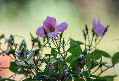 Wild Rose Tamed (Gabriel FW Koch (fb.me/FWKochPhotography on FB)) Tags: plant rose bush wildrose pink flower beauty garden beautiful rosegarden pretty bokeh buds leaves dof eos canon telephoto