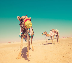 Camels In Qatar (Stuck in Customs) Tags: doha qatar stuckincustoms treyratcliff desert camel square colour color dailyphoto daily trey ratcliff outdoor outdoors outside hdr hdrtutorial hdrphotography hdrphoto blue white sand brown yellow red green dust dunes animal rr 30days2016 sony ilce7rm2 january 2016 p2016 shadow middleeast