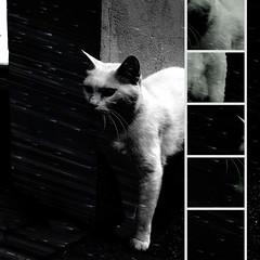 White Cat-O-Matic (sandroraffini) Tags: gatti dissection bw pixrlomatic alien vision white cats