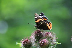 Aye aye Sir! (unnamedcrewmember) Tags: benther berg admiral vanessa atalanta animal tier insekt insect fauna tierwelt nature natur outdoor klette burdock