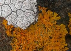 semi-detached (Edinburgh Nette ...) Tags: lichens foliose crustose july13 ribbet