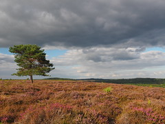 "New Forest Heather (Say ""Wasabi"") Tags: mzuiko1240 olympusomdem5ii olympus newforest heather rockfordcommon clouds tree hampshire pink hants heathers landscape lonetree"