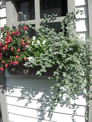 ** Jardinire ** (Impatience_1 (Peu...ou moins prsente)) Tags: jardinire boitefleurs windowbox flowerbox lierre ivy fuchsia fleur flower verdure greenery fentre window m impatience coth saveearth wonderfulworldofflowers coth5 sunrays5 alittlebeauty abigfave