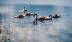 Seach for gold (Ingeborg Ruyken) Tags: 500pxs empel kanaalpark birds dropbox flickr juli july moeras morning natuurfotografie ochtend reflection summer swamp swans vogels water weerspiegeling zomer zwanen