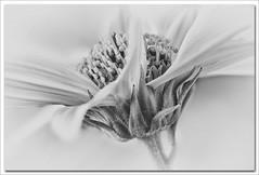 Close up (hequebaeza) Tags: bw monocromo naturaleza florasilvestre vegetacin flores flowers ptalos petals margarita daisy tubosdeextensin macro 3570mm nikon d5100 nikond5100 hequebaeza