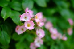Love Always (Minami45) Tags: xpro1 fujifilm rose pink tokyo japan