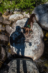(The Noisy Plume) Tags: idaho fishing flyfishing gsp germanshorthairedpointer birddog summer