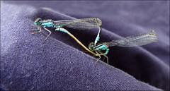 Blue Damsels (jo92photos) Tags: bluetaileddamselfly ischnuraelegans damselfly mating pond wildlife insects british nature 522016week33 giveusyourbestshot