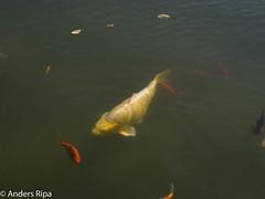 P9105074.jpg (andersripa) Tags: tinaekbladandpaulvisit2016090911 djur botaniskatrdgrden fisk gteborg gothenburg