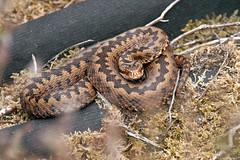 Female Common European Adder, Nr Ogdens, New Forest, Hampshire, UK (rmk2112rmk) Tags: adder ogdens newforest hampshire uk viperaberus snake viper reptile herps venomous bokeh dof serpent