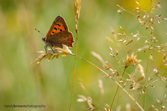 Small Copper 5 - Happy World Photography Day (ABPhotosUK) Tags: animals backlighting butterflies canon dartmoor devon ef100400mmisii ef25mmextensiontube eos7dmarkii invertebrates lepidoptera lycaenaphlaeas lycaenidae macro nocrop smallcopper wildlife worldphotoday