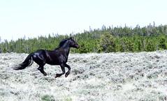Long may they run (prairiegirrl) Tags: mustangs wildhorses freedom greenmountainhma wildlife wyoming