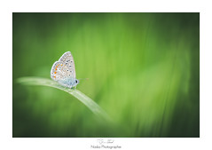 Repos Azur (Naska Photographie) Tags: naska photographie photo photographe paysage proxy proxyphoto papillon butterfly butterflie azur extrieur nature sauvage vegetation herbe volant insectes
