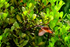 Common Kingfisher 普通翠鳥 釣魚郎 (Jeffreycfy) Tags: commonkingfisher kingfishers birds birding wildlife nature nikon d500 bif nikkor200500mmf56 flight animals alcedinidae alcedoatthis 翠鳥科 普通翠鳥 釣魚郎 攀禽