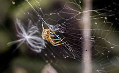 spider dancing on threads (PDKImages) Tags: spider spiders webs macro beauty silhouettes legs creepy danger feeding striped pounce nature