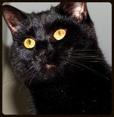Gamine aux aguets... (Trebor M.) Tags: chat cat gatto katz noir black yeux