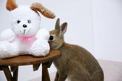 Ichigo san 307  (mensore) Tags: brown bunny cute ichigo netherlanddwarf pet rabbit