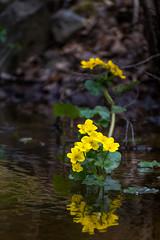Warning yellow (Jani Mielonen) Tags: stream puro mikkeli kingcup rentukka