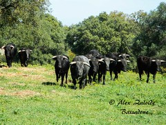 TOROS EN EL CAMPO (BULLS IN THE FIELD) 2 (azalvidebassadone) Tags: espaa animal spain nikon huelva horns bulls andalucia toros andalusia livestock cuernos ganaderia