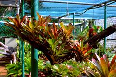 Bromeliad plants @ George Brown Darwin Botanic Gardens (betadecay2000) Tags: plants brown gardens fruit george day outdoor pflanze pflanzen australia darwin botanic australien february northern bume garten baum tropics februar territory palmen 2014 natas botanischer tropen tropisch botanisch tropische bromelien