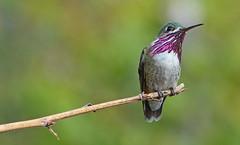 Out On A Limb (ebirdman) Tags: male hummingbird calliope calliopehummingbird stellulacalliope stellula