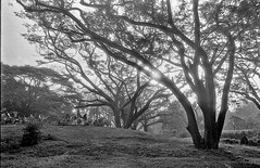 Sun and the Canopy (gradients_of_grey) Tags: bw white black film 100 fomapan film:iso=80 fomafomapan100 film:brand=foma film:name=fomafomapan100 filmdev:recipe=10120
