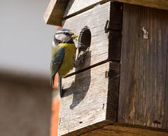 Scruffy Nesting Blue Tit #5 (PontyCyclops) Tags: blue nature garden back spring tit nest feeding box fledgling scruffy nesting 2015 fledging
