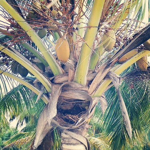 Mives dhivehi rukeh #coconuttree