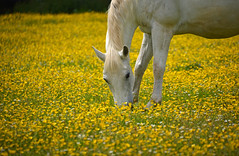 Horsepower (jamiegaquinn) Tags: horse field buttercup dartmoor buttercups dartmoorminiatureponycentre ponycentre httpwwwminiatureponycentrecom
