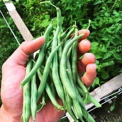 Green beans from my garden! (AEDomingo1) Tags: food green love garden beans healthy gardening vegetarian greenbeans organic veggies fit