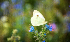 Butterfly. (augustynbatko) Tags: flowers macro nature fauna butterfly insect outdoor meadow