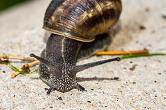 Snail (John Fenner) Tags: macro up grass insect prime nikon close shell snail sigma scales d750 f28 slimy 105mm tentalcles