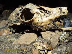 Deer Skull at the bottom of Vast Cavern (wrcochran) Tags: nature vertical skyline underground alabama caves caving cavern sinkhole speleo spelunking jacksoncounty nss