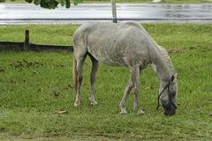 Confuso 05 (Parchen) Tags: foto chuva estrada caos cavalos rua fotografia animais cavalo trnsito imagem confuso baguna molhado comendo chuvoso solto registro veculo pastando chuvarada parchen carlosparchen animaissoltosnarua