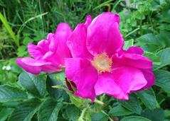 Burnet Rose (JulieK (moving house, very busy)) Tags: rosaspinosissima burnetrose flower 2016onephotoeachday garden newmarket cork ireland irish pink iphone5 petal bloom