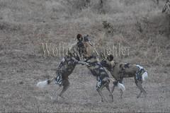 10075535 (wolfgangkaehler) Tags: africa playing nationalpark african wildlife predator zambia africanwilddog southernafrica predatory 2016 africanhuntingdog zambian southluangwanationalpark africanwilddoglycaonpictus