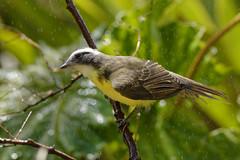 _DSC2984_DxO (rubengaasenbeek) Tags: bird brazil museudebiologiaprofessormelloleitão socialflycatcher myiozetetessimilis