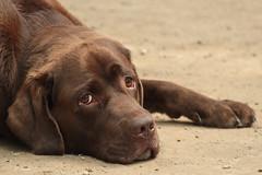 Claire (K.Verhulst) Tags: dog pet claire labrador hond retriever huisdier chocolatelabrador chocolatelabradorretriever bruinelabrador bruinelabradorretriever