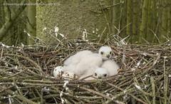 Sparrowhawk chicks (Steven Mcgrath (Glesgastef)) Tags: uk bird eos scotland europe nest hawk glasgow egg scottish chick raptor wifi prey app nesting sparrowhawk nisus acipiter