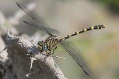 four-striped leaftail (robert salinas) Tags: austin texas unitedstates