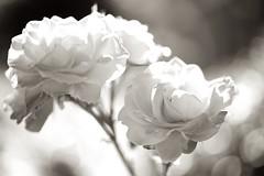 HMM (juli_ei) Tags: flower blume blte blossom weis white monochrom blackandwhite sepia canon eos6d 6d ef100mmf28lmacroisusm macromonday