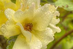 ROSA AICHA- (FRANCO600D) Tags: canon rosa giallo acqua petali gocce pistilli goccioline eos600d franco600d rosaaicha
