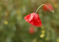 Reflet du temps (Mariette80) Tags: coquelicots plantessauvages