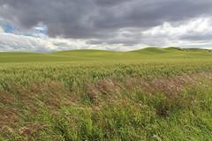 Texturey (Miss Q Pix) Tags: clouds washington textures grasses pnw palouse easternwashington