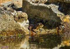 A la sombra !!!!! (loriagaon) Tags: espaa plants naturaleza macro nature animals plantas frog galicia animales rana pontevedra loria loriagaon rx10lll sonyrx10lll sonydscrx10iii