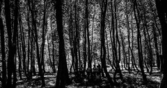 316/365 Scouting (darioseventy) Tags: wood trees summer camp bw sun alberi forest estate scout bn ombre campo summertime sole thick bianconero bosco foresta blackanwhite fitto shadowws