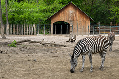 Why does the eye see a thing more clearly in dreams than the imagination when awake? (alexa.pricop) Tags: life travel light love nature animals work happy zoo amazing nikon hungary great happiness hobby passion zebra 1855mm lovely dslr 2016 d3200 nyiregyhaza