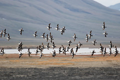 King Eider at Adventdelta S24A0796 (grebberg) Tags: adventdelta longyearbyen svalbard july 2016 bird spitsbergen kingeider somateriaspectabilis somateria duck eider