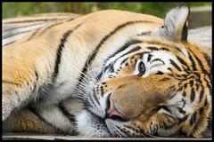Lazing Tiger (KRIV Photos) Tags: amurtiger siberiantiger tiger uk yorkshirewildlifepark animal